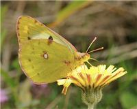 Colias hyale - thumbnail