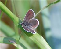 Cupido minimus - Small Blue