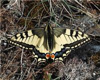 Papilio machaon - thumbnail